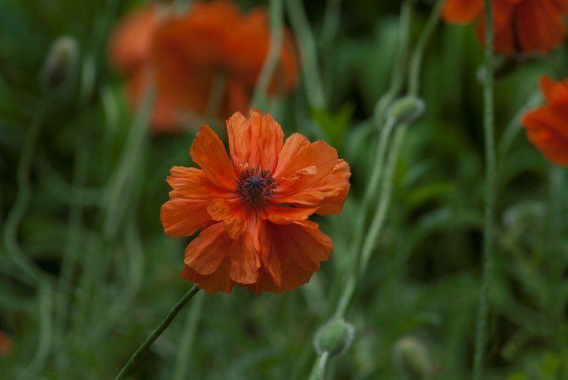 цветы,маки Маки ...photo preview