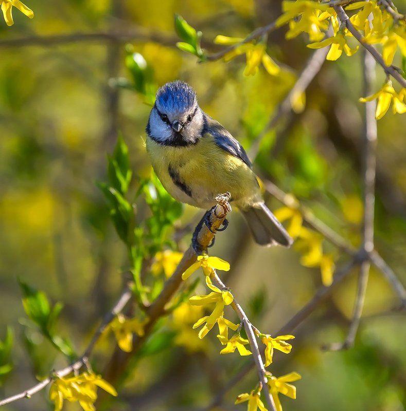 лазарёвка, парк, птица, весна, цветы, елагин остров. Лазарёвка, или весенний портретphoto preview