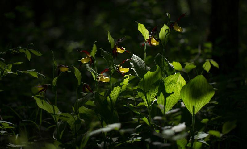 cypripedium calceolus, nature, macro, flowers, spring, wildlife,башмачок One, two, three...photo preview