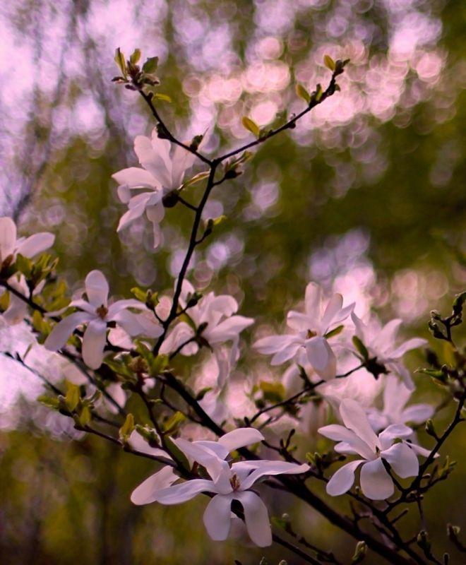 магнолия, magnollia, весна, spring Magnoliaphoto preview