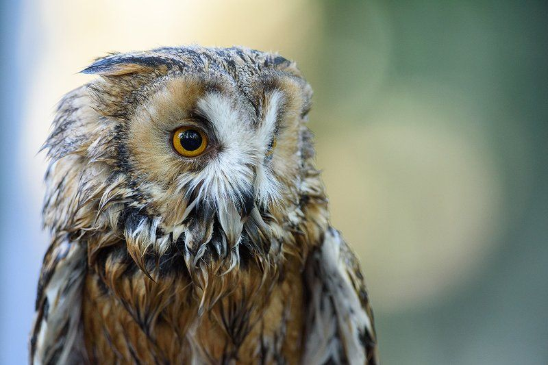 Long-eared Owlphoto preview