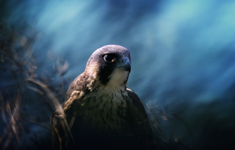 peregrine falcon Peregrine Falconphoto preview
