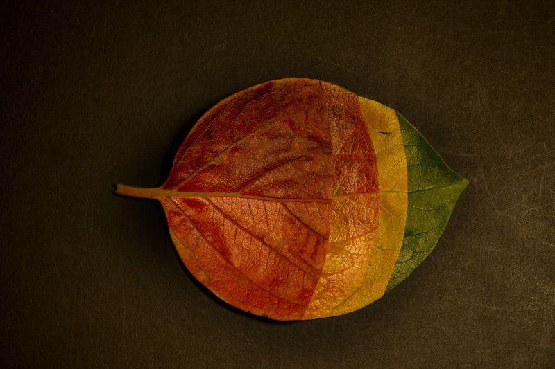 leaves, conceptual, abstract, art, color, macro, close-up, nature, seasons, green, yellow, brown, red, orange, листья, дерево, времена года, цвета кожи, концептуальные, аннотация, красный, зеленый, желтый, оранжевый 4 Seasonsphoto preview