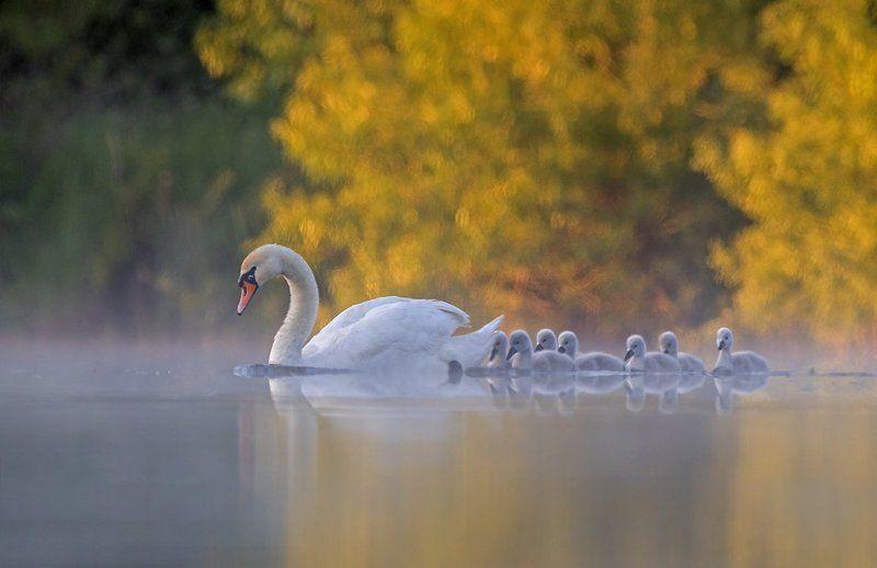 Лебедь шипунphoto preview