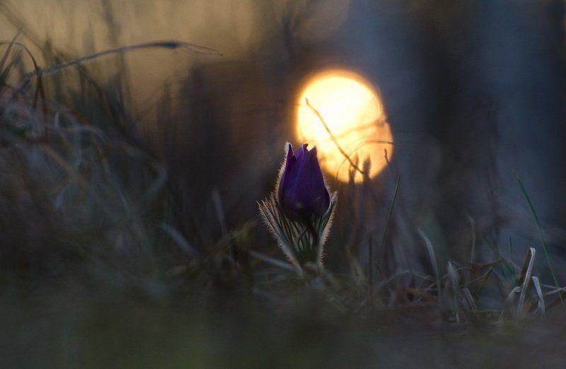 прострел, сон - трава, вечер Таинство вечераphoto preview