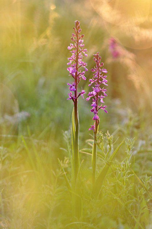 орхидея, ятрышник, болотный, изящный, анакамптис, рыхлоцветковый, anacamptis, laxiflora, palustris, elegans, orchis, самарский лес Рассвет на болотеphoto preview
