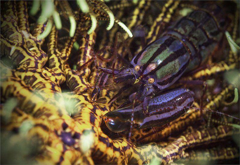креветка, морская лилия, филиппины чужойphoto preview