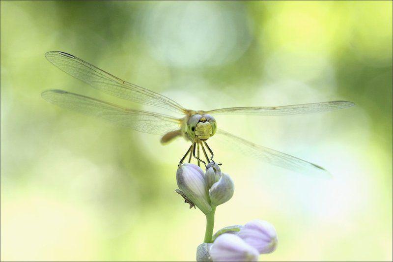 Стрекоза на цветке хостыphoto preview