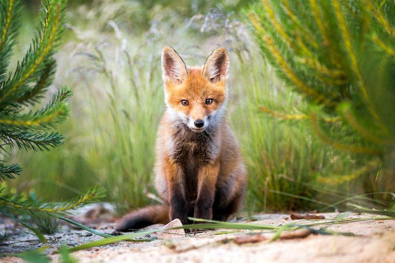 fox, red fox, wildlife, young, lis, лисица Rudyphoto preview