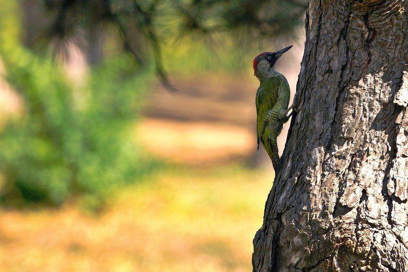 дятел, лето Большой зеленый дятелphoto preview
