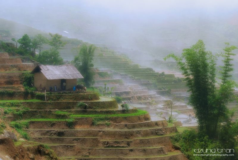 mist,y ty,lao cai,bamboo,buffalo,country side A misty dayphoto preview