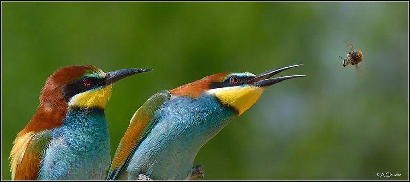 щурки,птицы,пчела, несите,крылья Ой, крылья,крылья, несите мою ... моё жало ;)photo preview