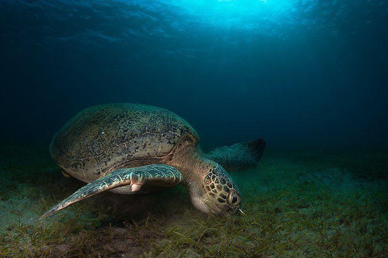 черепаха, красное море, подводная съемка, солнце, вода жадная и голоднаяphoto preview