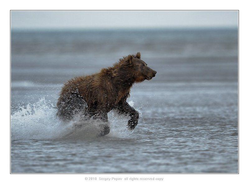 медведи, аляска, фотоохота, дикая природа ****photo preview