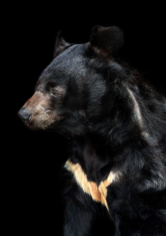 Гималайский медведьphoto preview