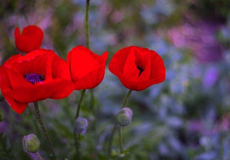 маки, мак, poppies, лето, summer Poppiesphoto preview