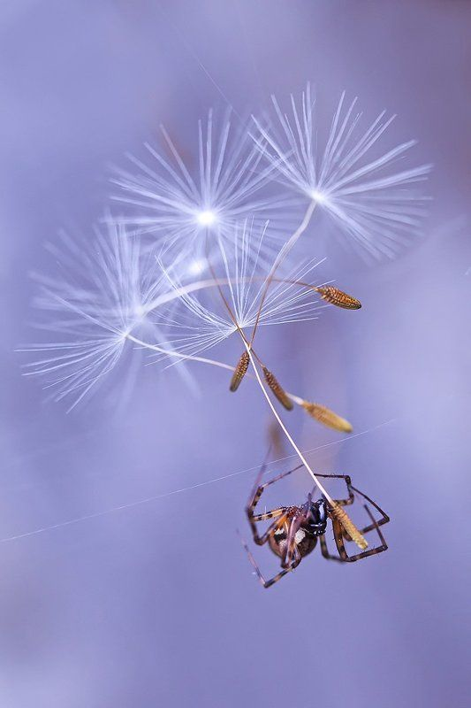 паук, паукообразные, природа, макро Мечтательphoto preview