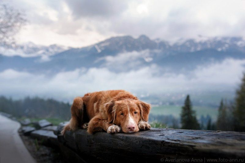 собака, природа, горы мечтательница) photo preview