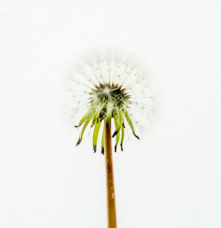 overexposed, dandelion, flower, white, background, macro X-Rayphoto preview
