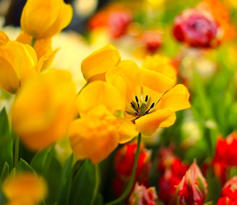тюльпаны, tulips, лето, summer Tulips photo preview