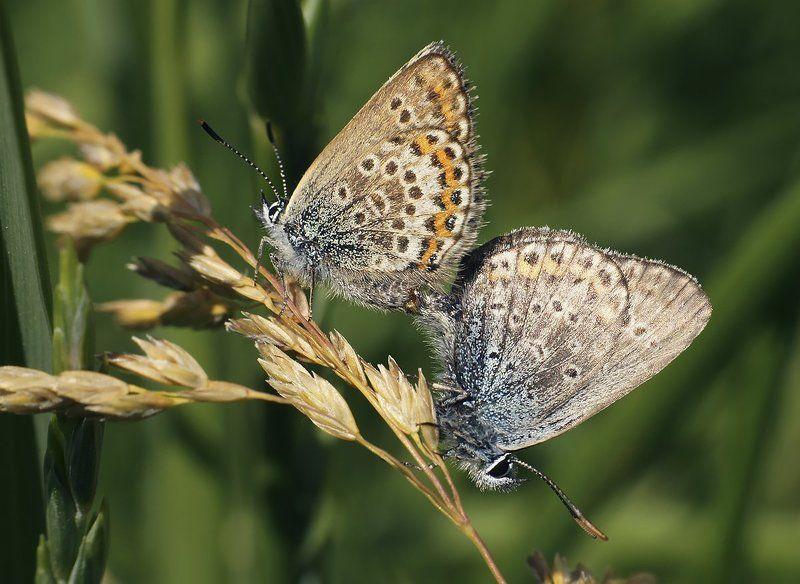 макро,бабочка-голубянка Пикантный моментphoto preview