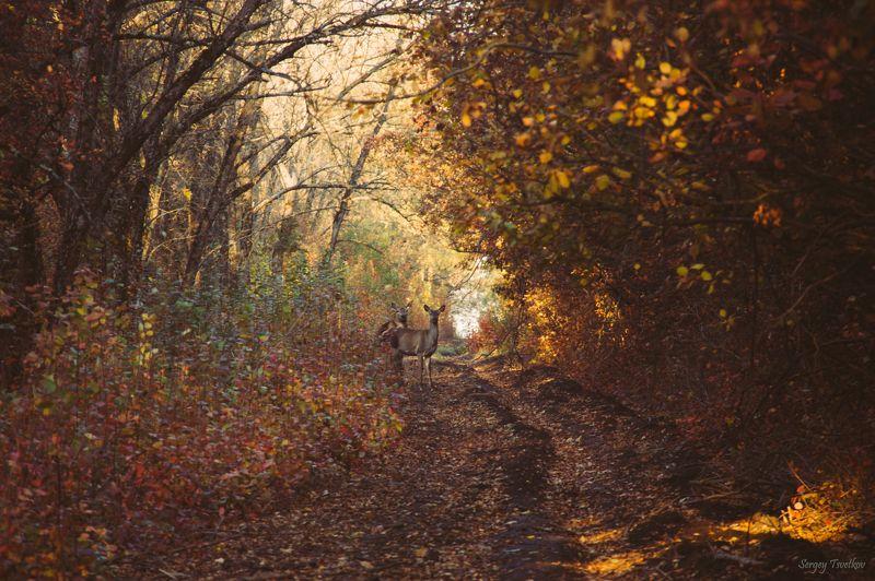 олень, животные, deer Золотая осеньphoto preview