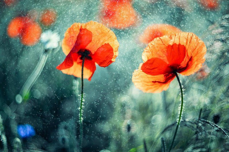 two poppies mak maki helios dranikowski bokeh Two poppiesphoto preview