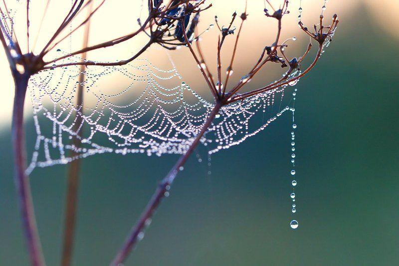 роса, макро, природа, утро, паутина Утренние бусыphoto preview