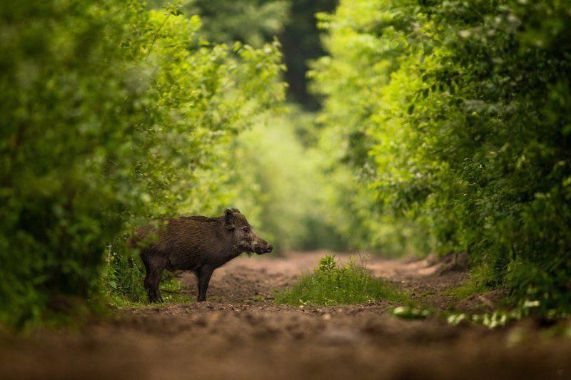 Wild boar, dzik, Дикий кабан, wildlife Wild boarphoto preview