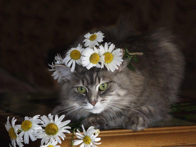 фото, домашние питомцы, домашние животные, кошки, портрет, кошка Масяня, ромашки, венок Портрет Масяни в ромашкахphoto preview