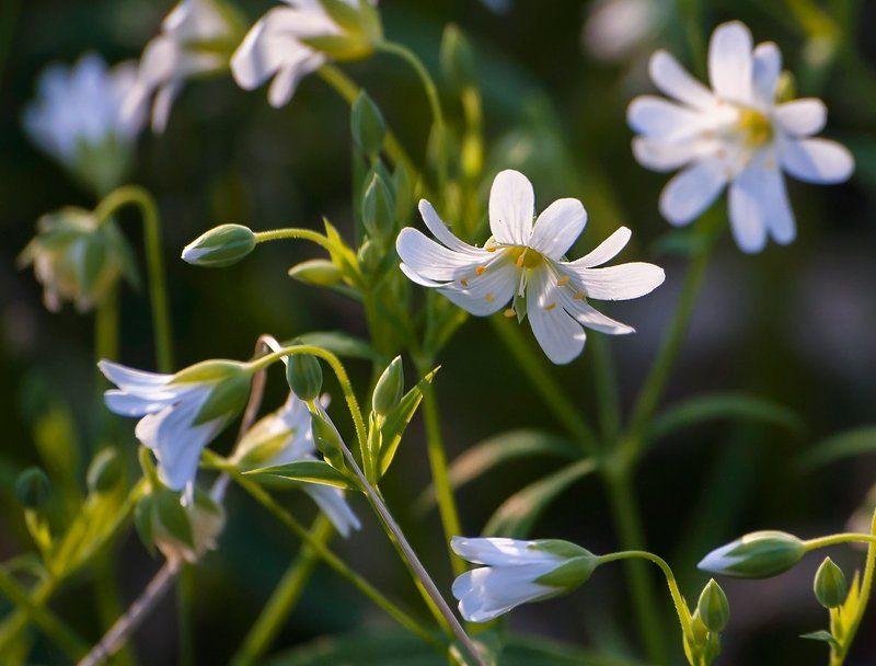 весна, лес, звездчатка ланцетолистная, май, мещёра, рязанская область Pro белоснежное майское настроение...photo preview