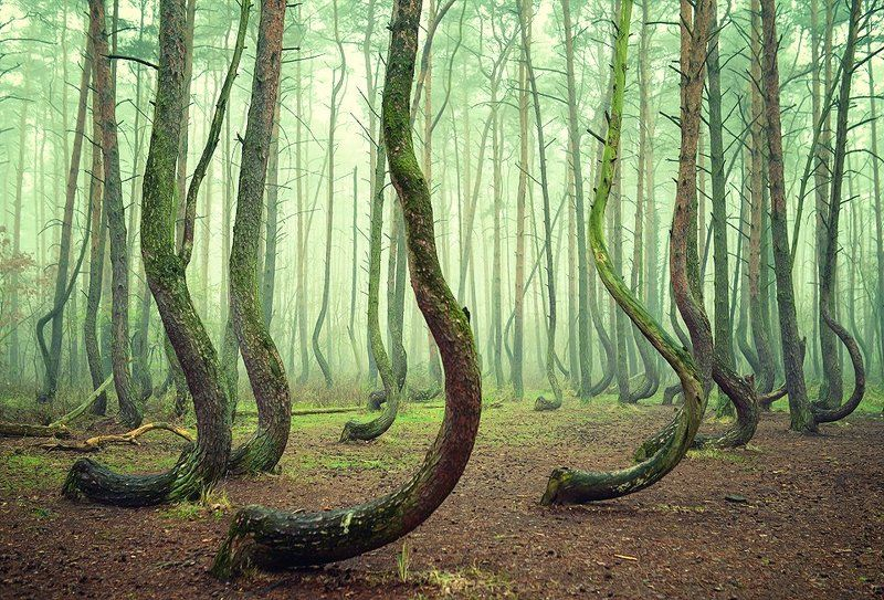 crooked forest mist magic green tree trees foggy poland Crooked forestphoto preview
