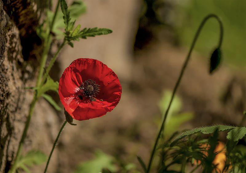 poppy,flowers,summer Redphoto preview