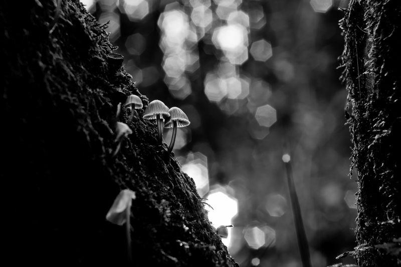 mushroom, macro, close-up, nature, bnw Little helmetsphoto preview