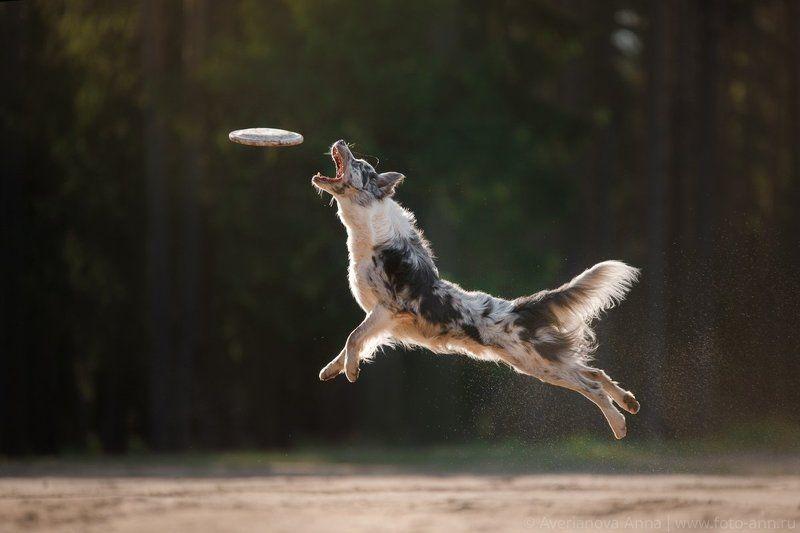 собака, бордер колли, движение Полетphoto preview