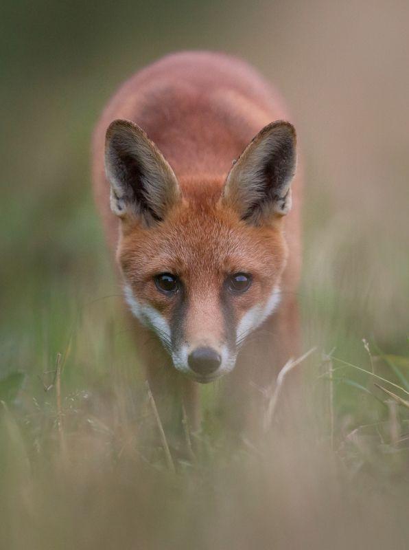 fox, mkkaczy Face to facephoto preview