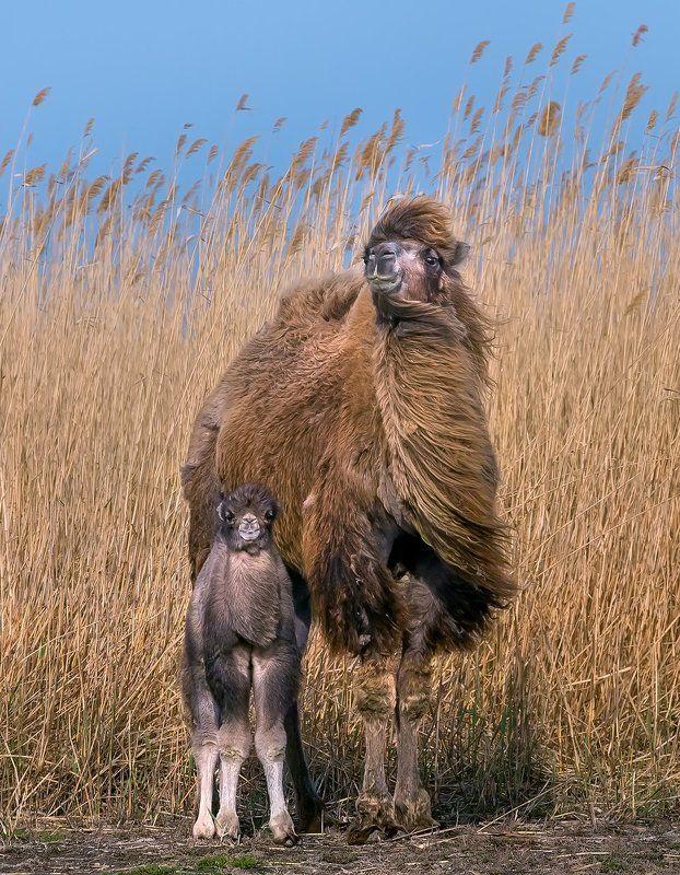 верблюд, степь, весна, астраханская область, животные, малыш, камыш, тростник. Семейный портрет.photo preview