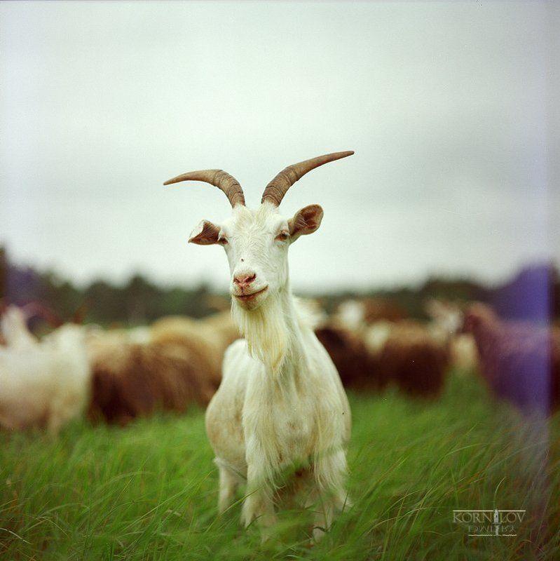 козёл, козел, светлый, поле, трава, северные, земли, дмитрий, корнилов, плёнка, 6х6, средний, формат, киев, 88 Козел светлыйphoto preview