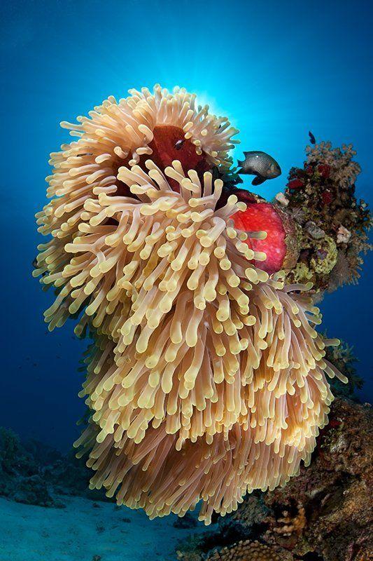 красное море, подводная съемка, риф, коралл, солнце, актиния, вода, лучи, свет, рыба Пока хозяева спят...photo preview