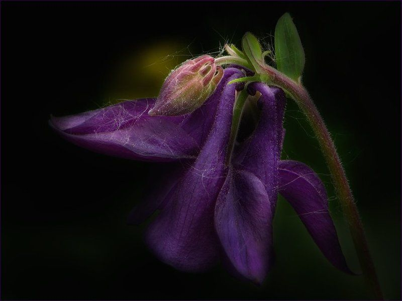 цветы, флора, аквилегия ...photo preview