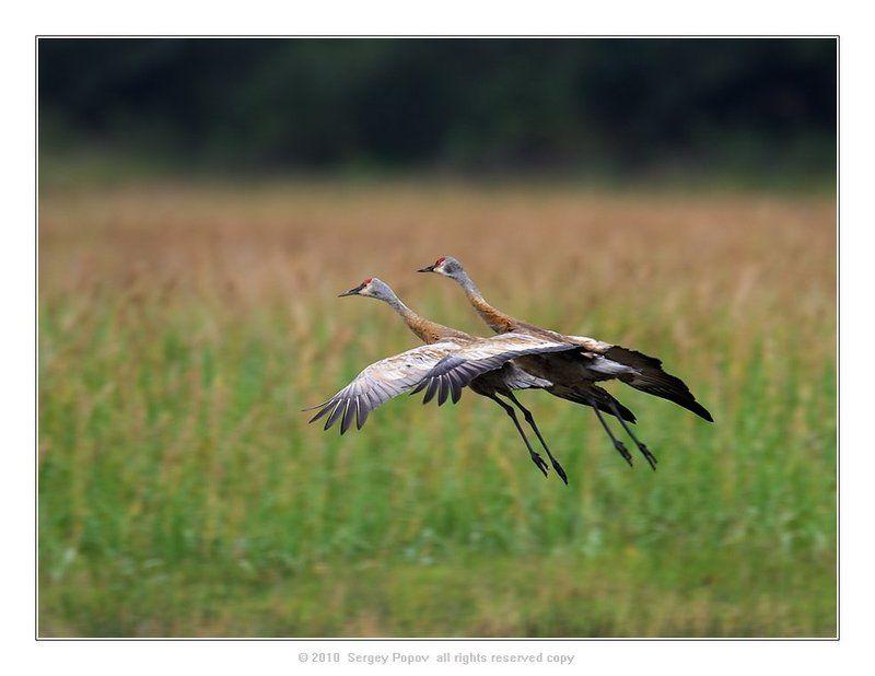 птицы, журавли, аляска, отношения Пара...photo preview
