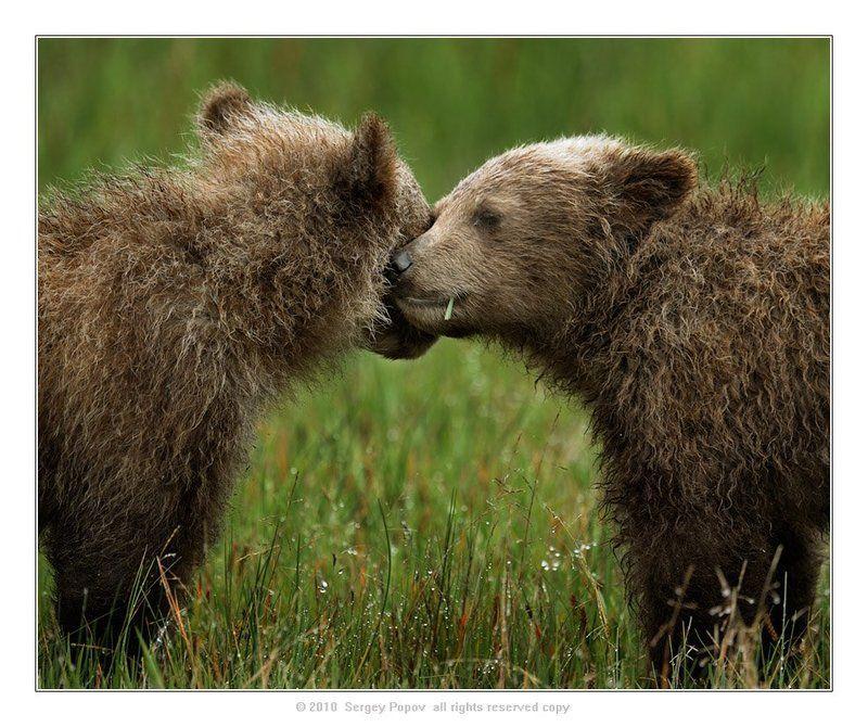 аляска, дикие животные, медведи, фотографии диких животных \