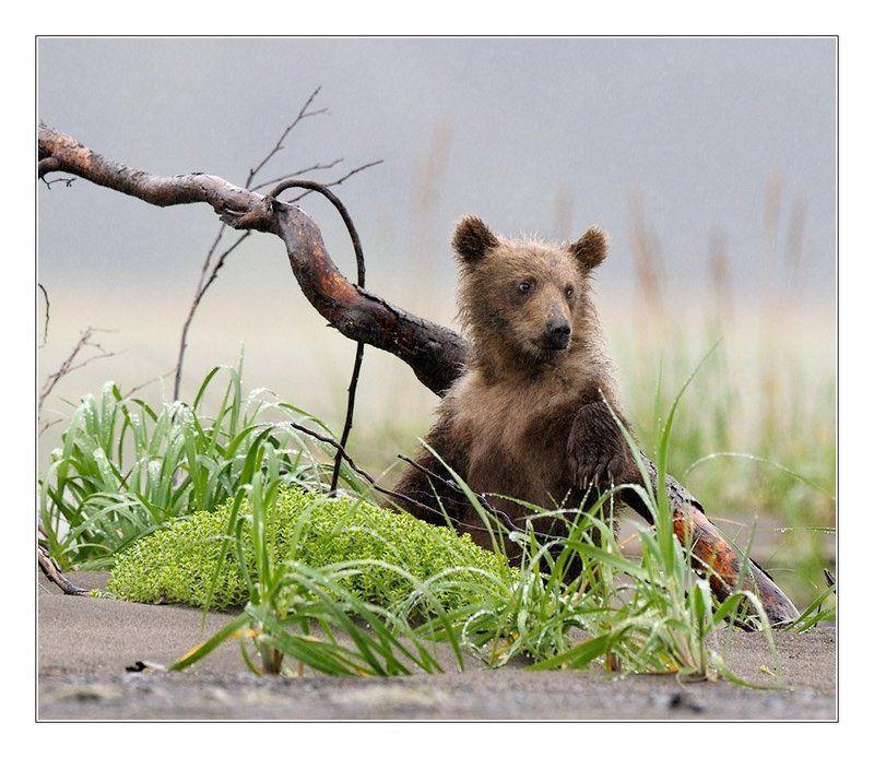 медведи, аляска, фотоохота, дикая природа Сижу... Дышу...photo preview