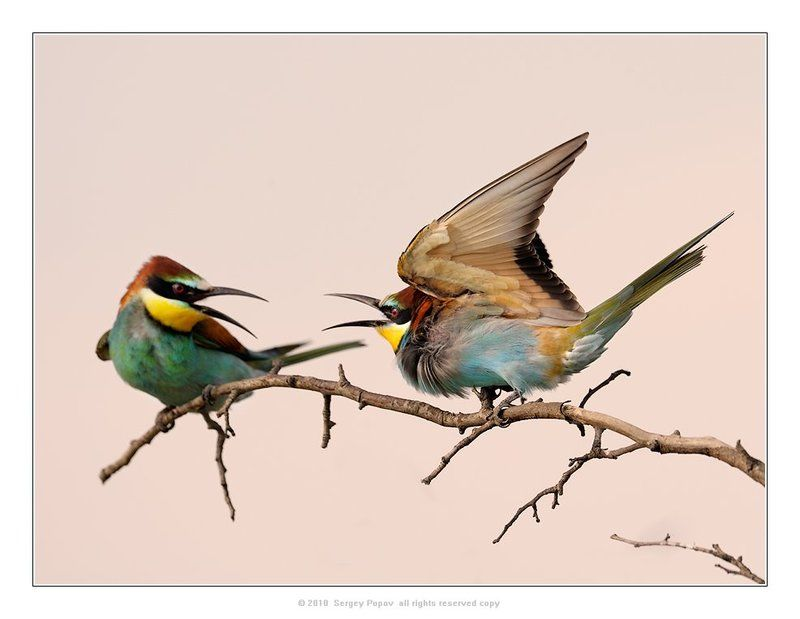 золотистая щурка, птицы, отношения между птицами Боец!photo preview