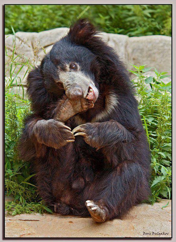 медведь, педикюр Педикюрphoto preview
