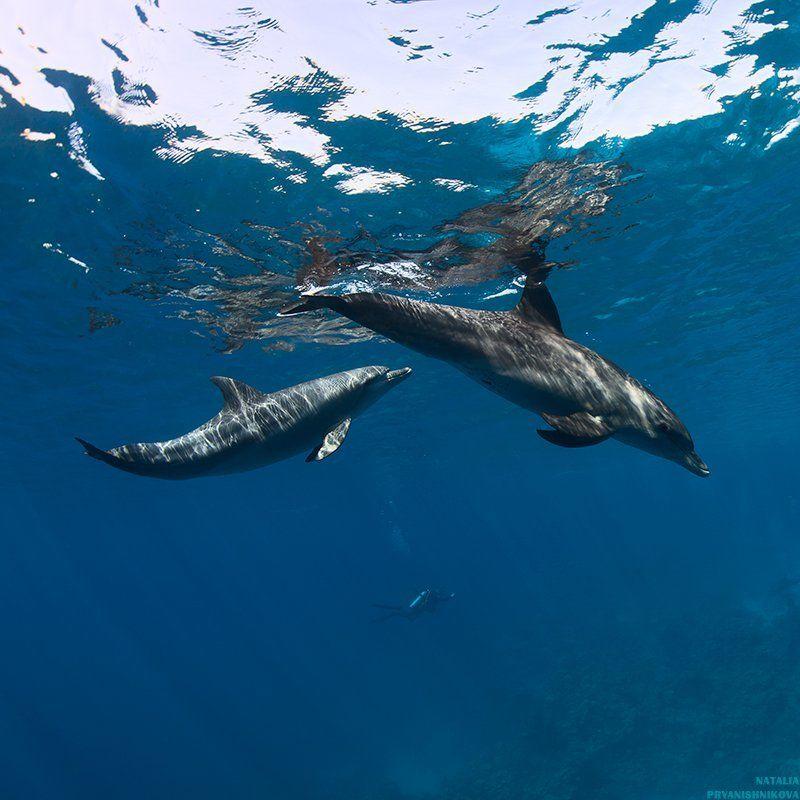 дельфины, море, солнце, вода, дайвер чужие игрыphoto preview