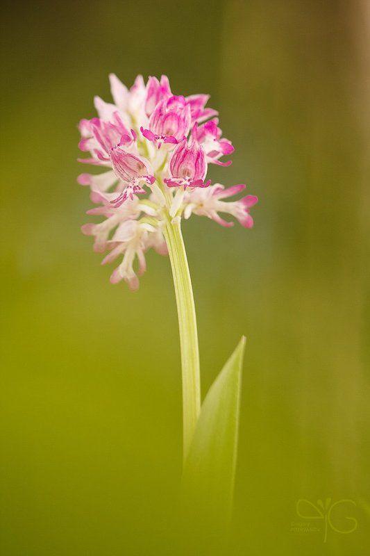 орхидея, орхис, ятрышник, шлемоносный, цветок, ло, флора, orchis, militaris, lo, flower, flora, orchid photo preview