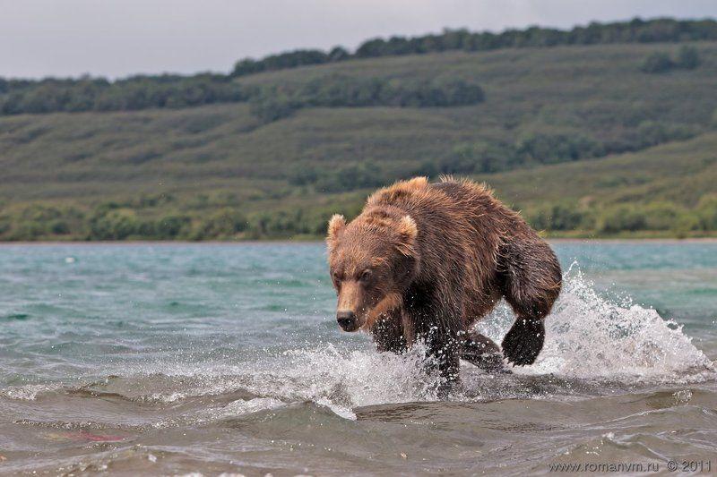 камчатка, медведь, озеро курильское, нерка Погоня, погоня, погоня...photo preview