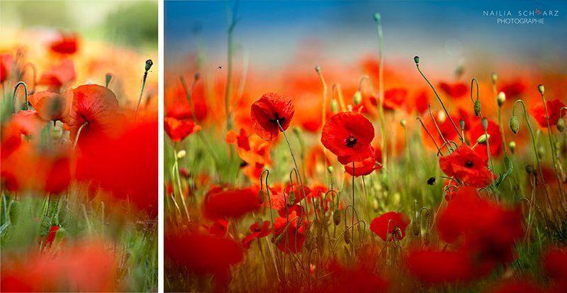 цветы, маки, ярко, поле, лето Mohnrauschphoto preview