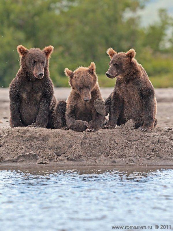 камчатка, медведь, озеро курильское - Слушай, что тебе старшие говорят, а то тапком получишь!photo preview